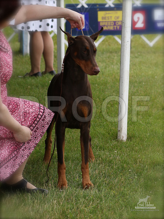 Red Dobes Photography   Doberman Specialty Jr Handlers
